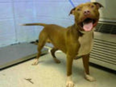 Adopt HAPPY FEET a Brown/Chocolate - with White American Pit Bull Terrier /