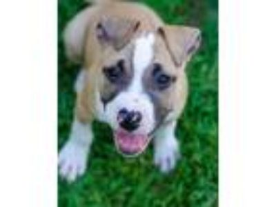 Adopt Kenneth a Pit Bull Terrier