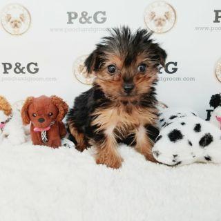Yorkshire Terrier PUPPY FOR SALE ADN-108905 - YORKSHIRE TERRIER FREDDIE MALE
