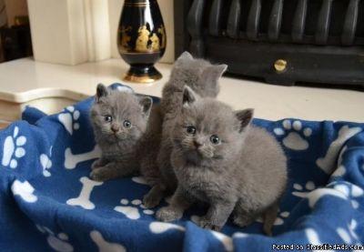 Ready To Go!! Blue British Shorthair Kittens ,.