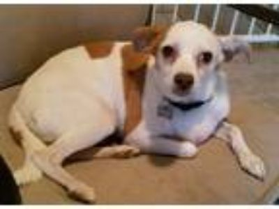 Adopt Ginger a White - with Red, Golden, Orange or Chestnut Jack Russell Terrier