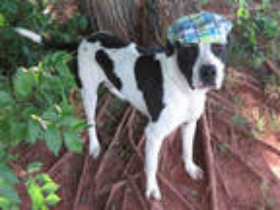 Adopt ALBERT a White - with Black American Pit Bull Terrier / Mixed dog in
