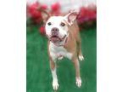 Adopt Maymie a Tan/Yellow/Fawn - with White Pit Bull Terrier / Mixed dog in
