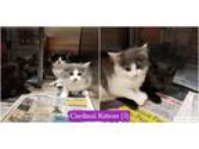 Adopt Cardinal Kittens (5) a Gray or Blue (Mostly) Domestic Mediumhair (short