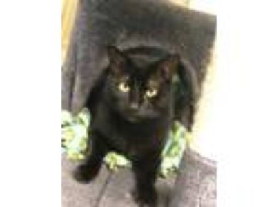 Adopt Luna ***At PetSmart*** a All Black Domestic Shorthair / Domestic Shorthair