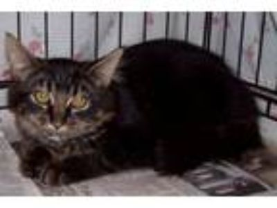 Adopt Prince a Domestic Medium Hair
