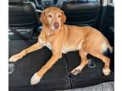 Adopt Harley a Red/Golden/Orange/Chestnut Labrador Retriever / Mixed dog in