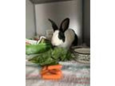 Adopt Raisin a Black Other/Unknown / Other/Unknown / Mixed rabbit in Newport
