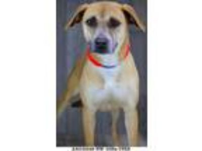 Adopt Sydney a Tan/Yellow/Fawn American Pit Bull Terrier / Mixed dog in