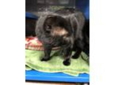 Adopt Felix a Domestic Short Hair