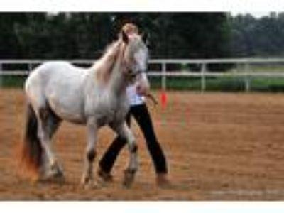 Very well handled Mini Gypsy Horse Filly ShowTrailParadeExpo experience
