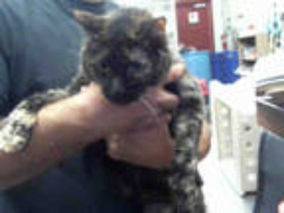 Adopt MAGGIE a Tortoiseshell Domestic Longhair / Mixed (long coat) cat in