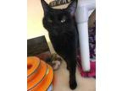 Adopt Abigail a All Black Domestic Shorthair / Domestic Shorthair / Mixed cat in