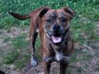 Adopt Truffles a Brindle Boxer / Pug / Mixed dog in Goodlettsville