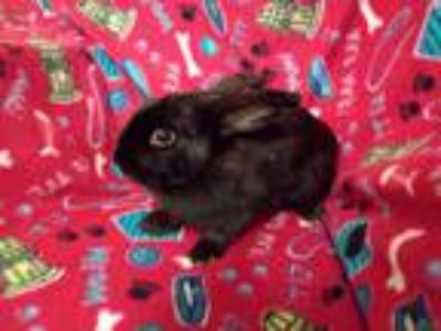 Adopt Mia a Other/Unknown / Mixed rabbit in Idaho Falls, ID (25297477)