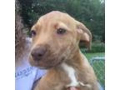 Adopt Kassidy a Brown/Chocolate Hound (Unknown Type) / Mixed dog in Atlanta