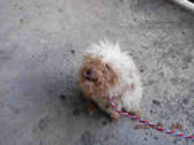 Adopt NEMO a Tan/Yellow/Fawn Poodle (Miniature) / Mixed dog in Doral