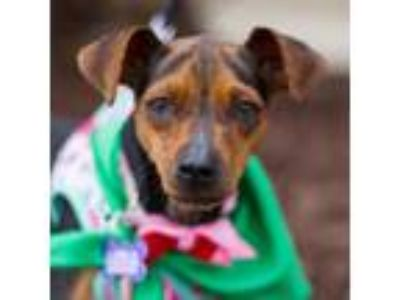 Adopt Helena a Brown/Chocolate Miniature Pinscher / Mixed dog in Itasca
