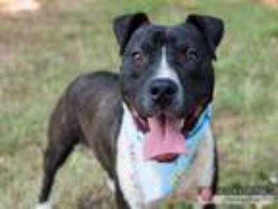 Adopt JD a American Staffordshire Terrier