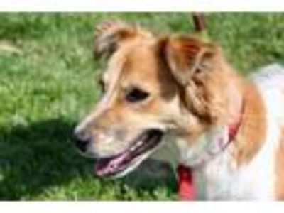 Adopt Gracie a Collie, Cattle Dog