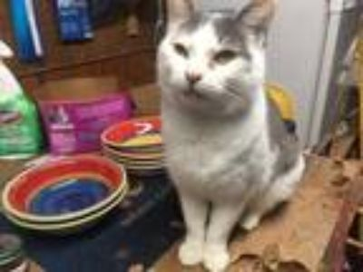 Adopt Carmen a White (Mostly) Domestic Shorthair / Mixed cat in Central Islip