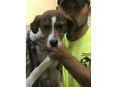 Adopt bly a Mountain Cur / Mixed dog in Dyersburg, TN (25349037)