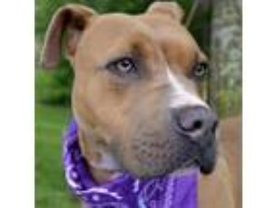Adopt Brownie a Pit Bull Terrier