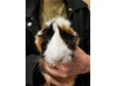 Adopt Louise a Brown or Chocolate Guinea Pig / Guinea Pig / Mixed small animal
