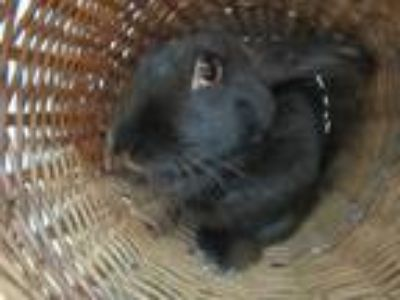 Adopt Daisey a Black Other/Unknown / Mixed (medium coat) rabbit in Newport