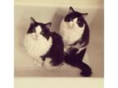 Adopt BooBoo & GeenBean a Black & White or Tuxedo Domestic Longhair / Mixed cat