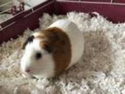 Adopt Sweet Pickles a Brown or Chocolate Guinea Pig / Mixed small animal in