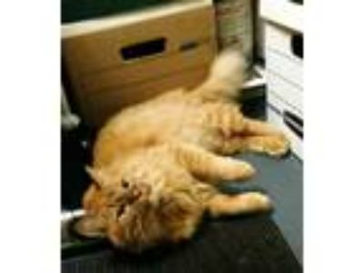 Adopt Annie a Orange or Red Tabby Domestic Longhair / Mixed cat in West
