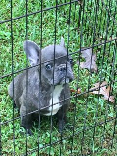 4 Akc french bulldog puppies already spayed/ neutered
