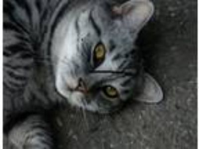 Adopt Jackie a Gray, Blue or Silver Tabby Domestic Shorthair cat in San Jose