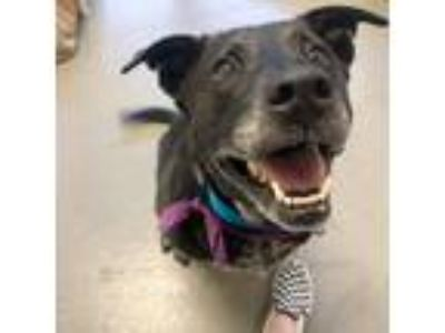 Adopt Franny a Black Australian Cattle Dog / Labrador Retriever / Mixed dog in