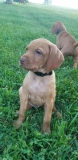 Vizsla PUPPY FOR SALE ADN-89043 - Vizsla Puppies
