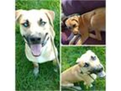 Adopt LUKE a Tan/Yellow/Fawn - with White Labrador Retriever / Catahoula Leopard