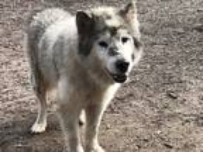 Adopt Bear a White - with Gray or Silver Alaskan Malamute / Mixed dog in