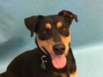 Adopt Yara a Black Rottweiler / Mixed dog in St. Paul, MN (25321507)
