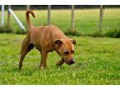 Adopt Emmy a Labrador Retriever