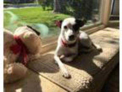 Adopt Dixie a White - with Black Rat Terrier / Jack Russell Terrier / Mixed dog