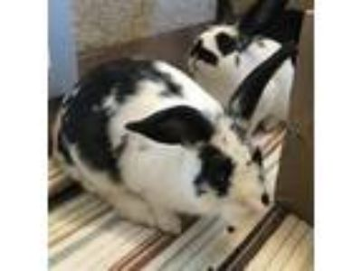 Adopt Cory a Other/Unknown / Mixed rabbit in Mipiltas, CA (25931090)