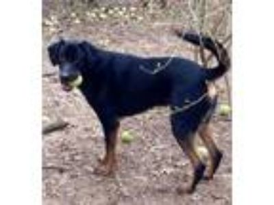 Adopt Dimer a German Shepherd Dog, Rottweiler