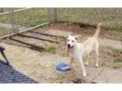 Adopt T'Rock a Tan/Yellow/Fawn Labrador Retriever / Mixed dog in Conway
