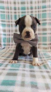 Boston Terrier PUPPY FOR SALE ADN-87435 - AKC Boston Terrier Blue