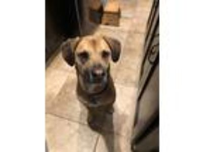 Adopt Lucky a Red/Golden/Orange/Chestnut - with Black Black Mouth Cur /