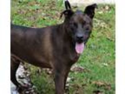 Adopt Buck a Labrador Retriever / German Shepherd Dog / Mixed dog in Cambridge