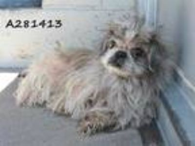 Adopt HAPPY a White - with Brown or Chocolate Pekingese / Mixed dog in STOCKTON