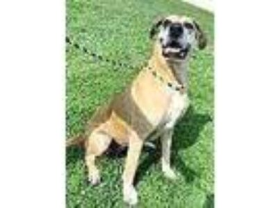 Adopt Brielle a Brown/Chocolate Great Dane / Mixed dog in Noblesville