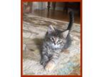 Adopt Lyla a Gray, Blue or Silver Tabby Domestic Mediumhair (short coat) cat in